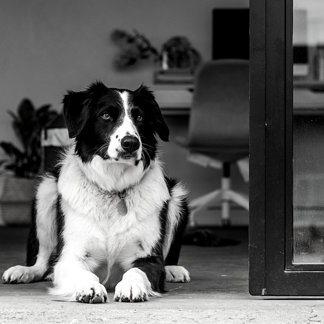 Fletch – Young Folks office dog